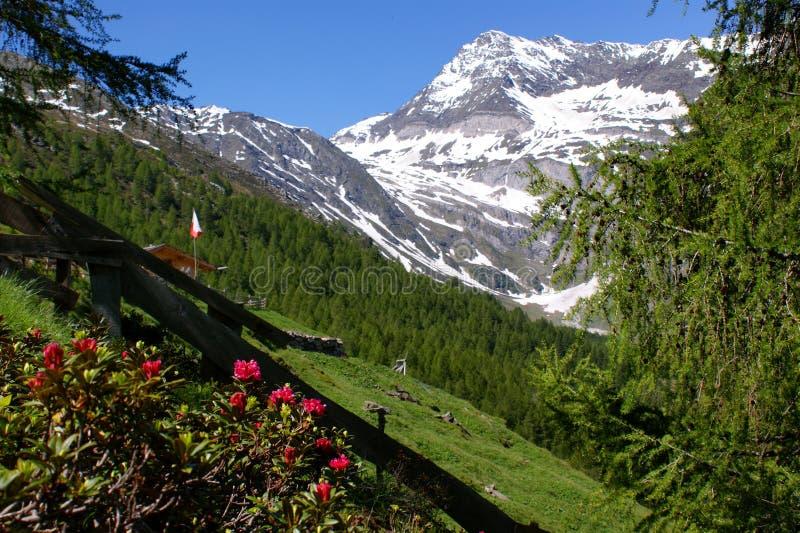 Rose e montain \ Hohe alpini Wilde \ fotografie stock