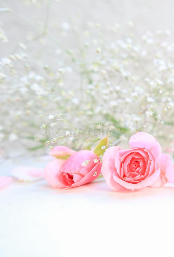 Rose e petali dentellare su priorit? bassa bianca Perfezioni per le cartoline d'auguri del fondo e gli inviti delle nozze, comple fotografie stock