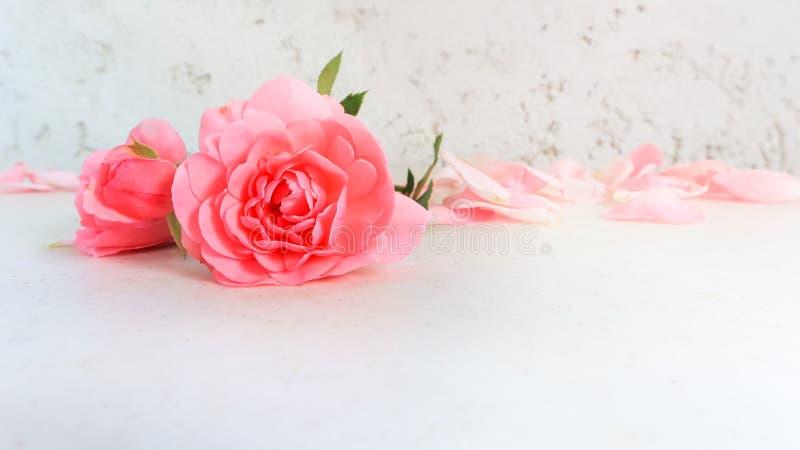 Rose e petali dentellare su priorit? bassa bianca Perfezioni per le cartoline d'auguri del fondo e gli inviti delle nozze, il com immagine stock libera da diritti