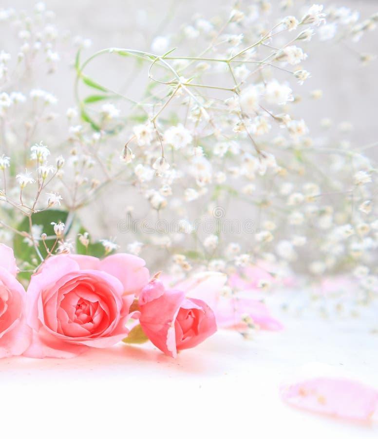 Rose e petali dentellare su priorit? bassa bianca Perfezioni per le cartoline d'auguri del fondo e gli inviti delle nozze, il com immagini stock
