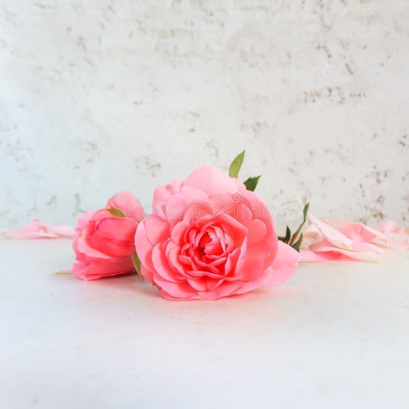 Rose e petali dentellare su priorit? bassa bianca Perfezioni per le cartoline d'auguri del fondo e gli inviti delle nozze, il com fotografia stock libera da diritti