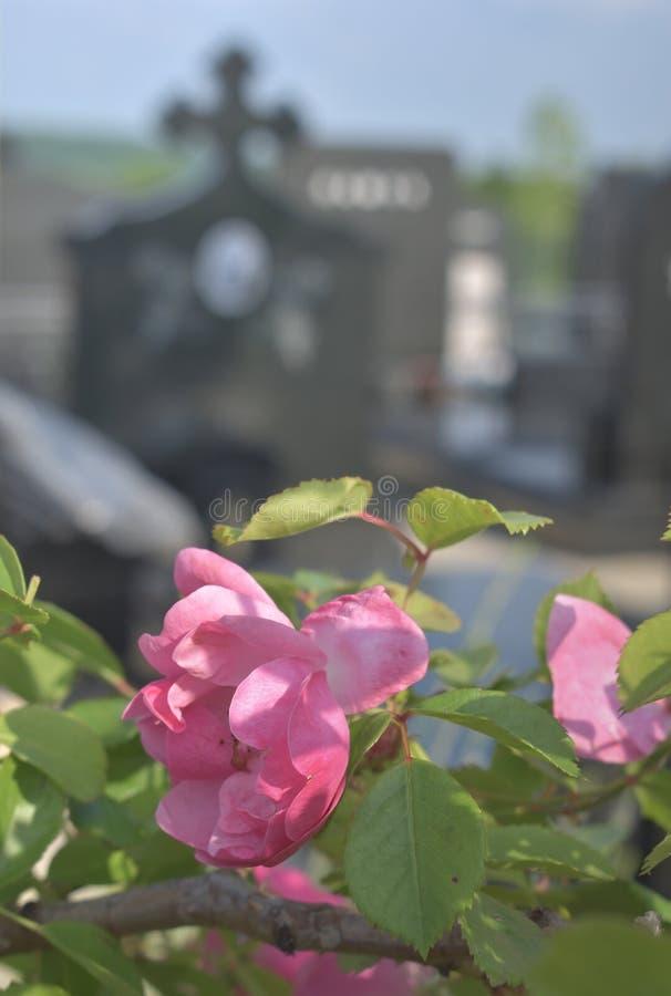 Rose e pietra tombale sul cimitero fotografie stock