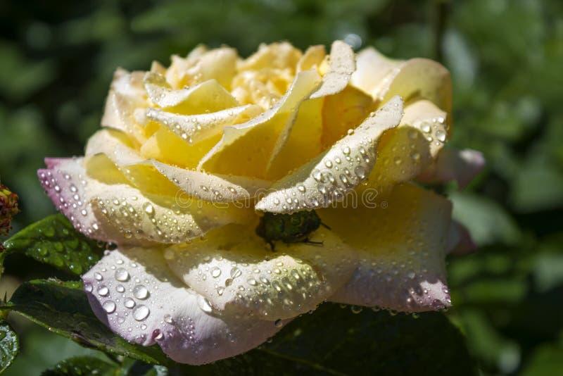 Rose - el nombre colectivo de la especie y de las variedades de los representantes del género escaramujo imágenes de archivo libres de regalías