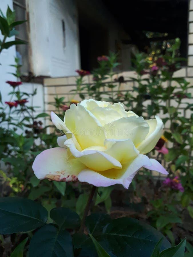 Rose en el jardín de flores imagenes de archivo