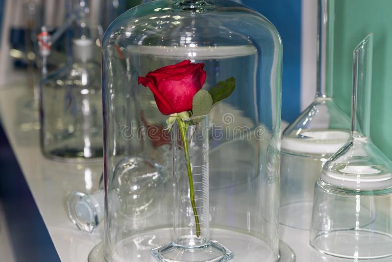 Rose en el laboratorio foto de archivo libre de regalías