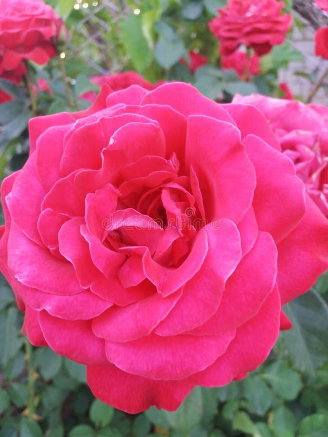 Rose en fleur images stock