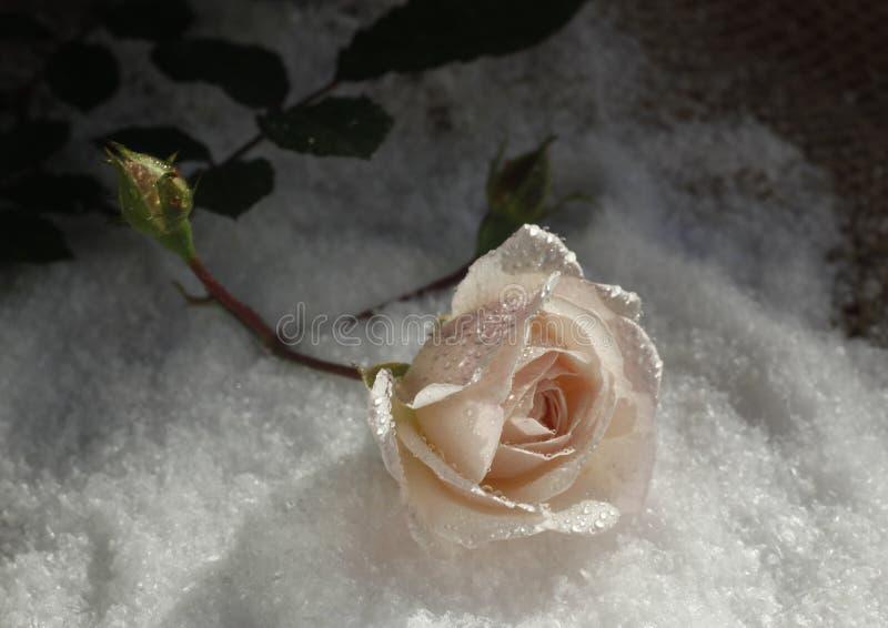 Rose en la nieve con descensos de rocío fotos de archivo libres de regalías