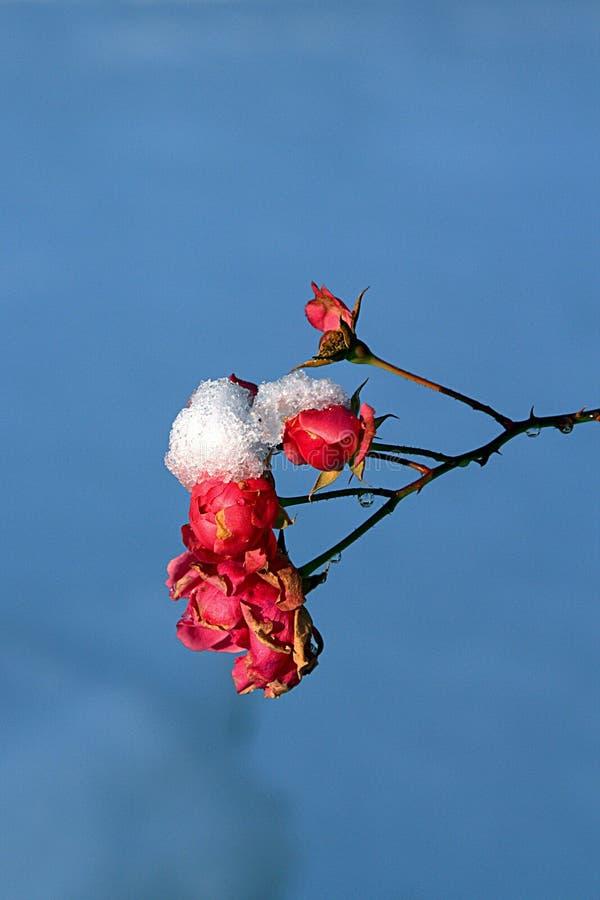 Rose en la nieve fresca fotos de archivo