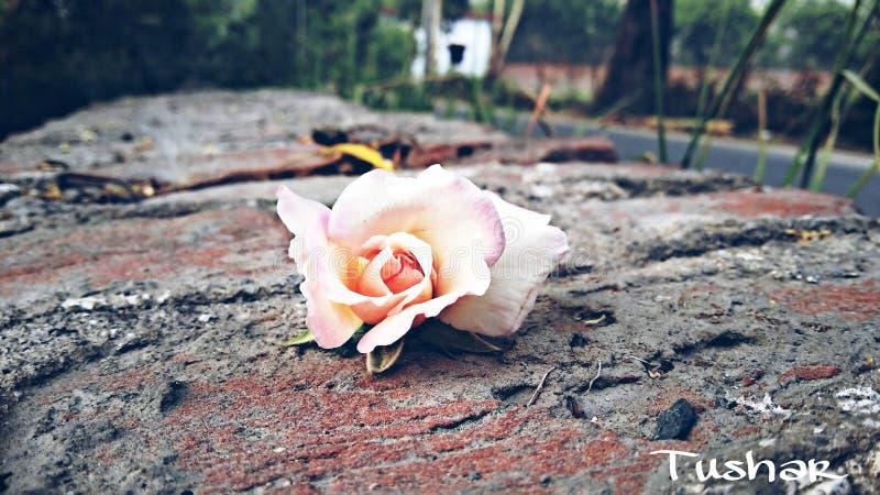 Rose en la piedra fotografía de archivo libre de regalías