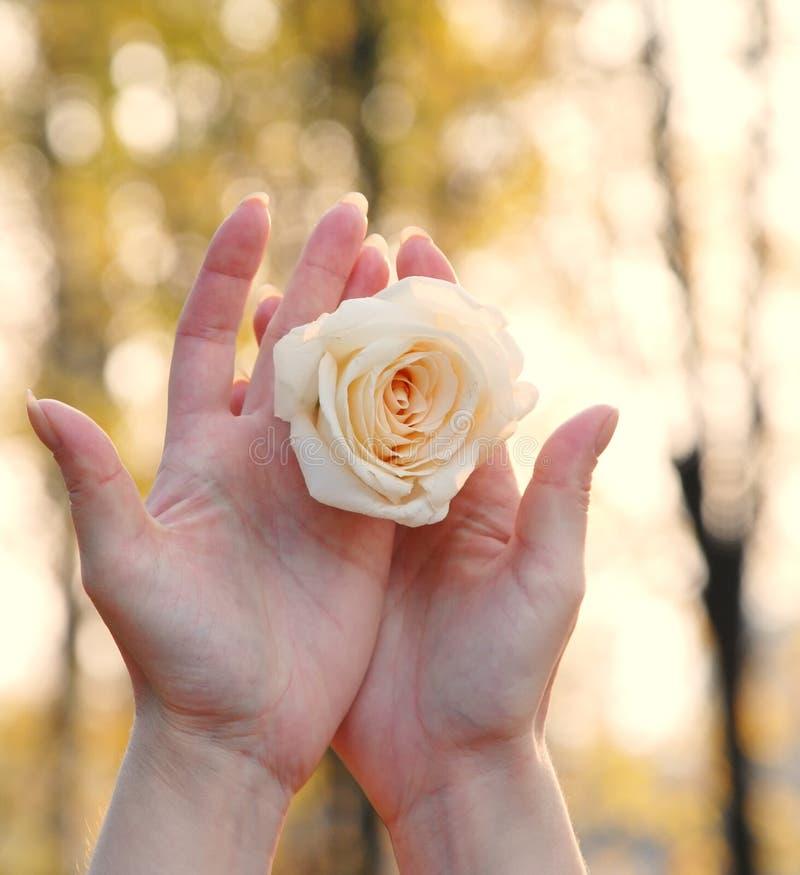 Rose en las manos de las mujeres foto de archivo