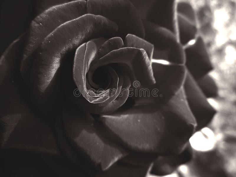 Rose en monocromo imagen de archivo