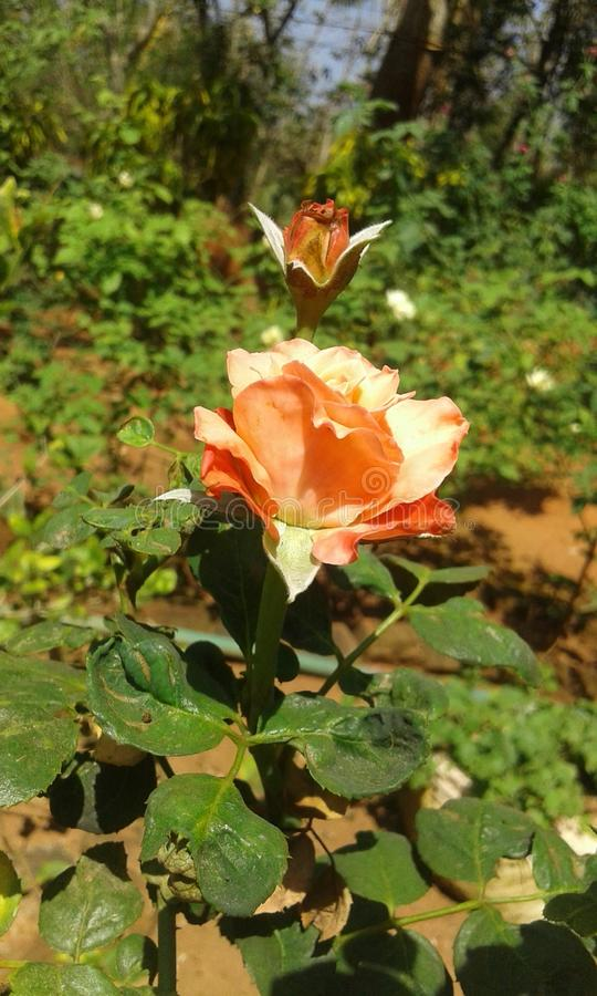 Rose en nature photo stock
