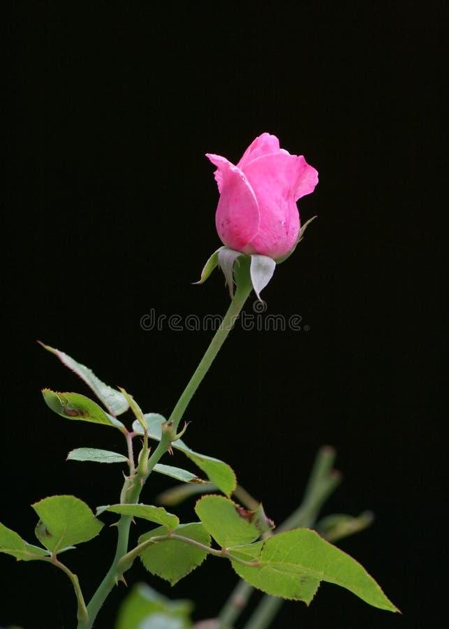 Rose en negro fotografía de archivo