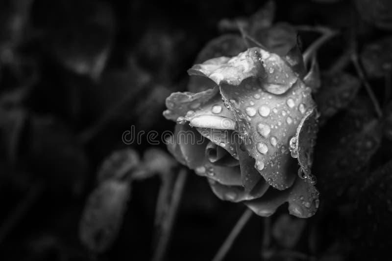 Rose en noir et blanc le jour pluvieux image libre de droits