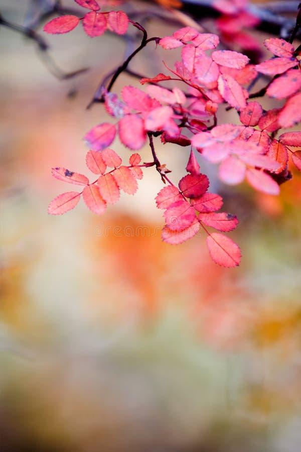 Rose en otoño fotografía de archivo