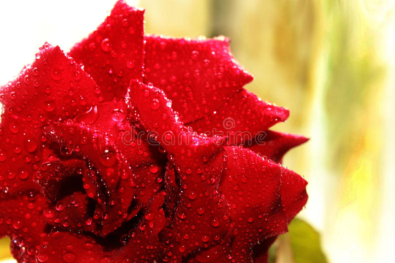 Rose en subió en fondo borroso imagenes de archivo