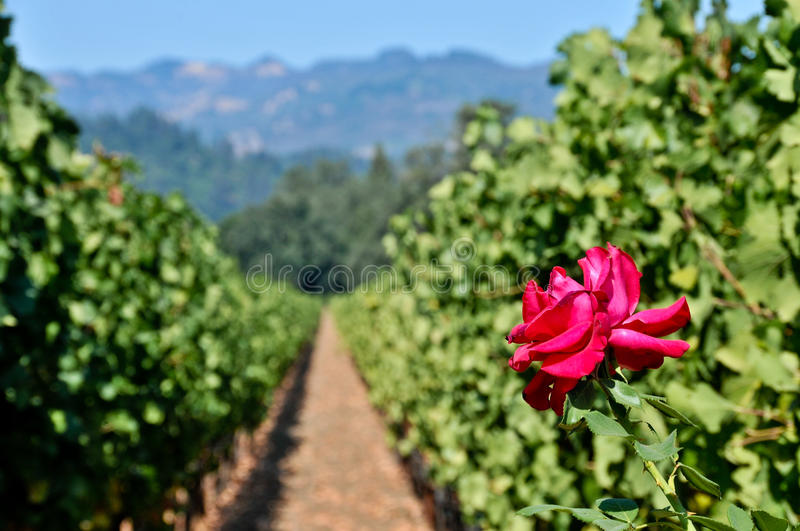 A rose at the end of two rows of wine grapes