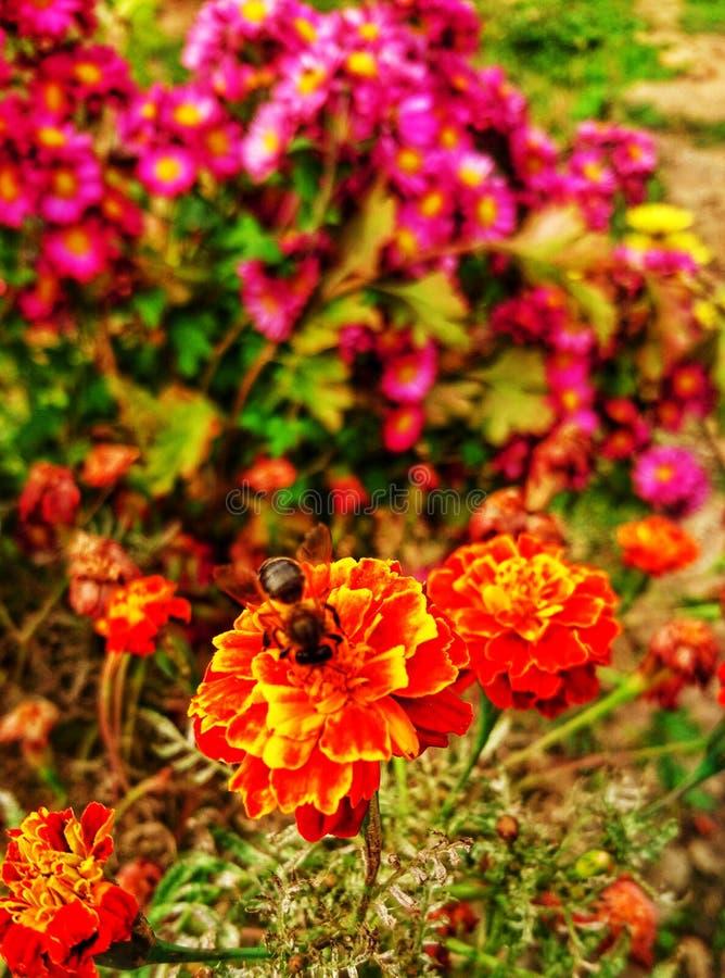 Rose et abeille de rouge images stock