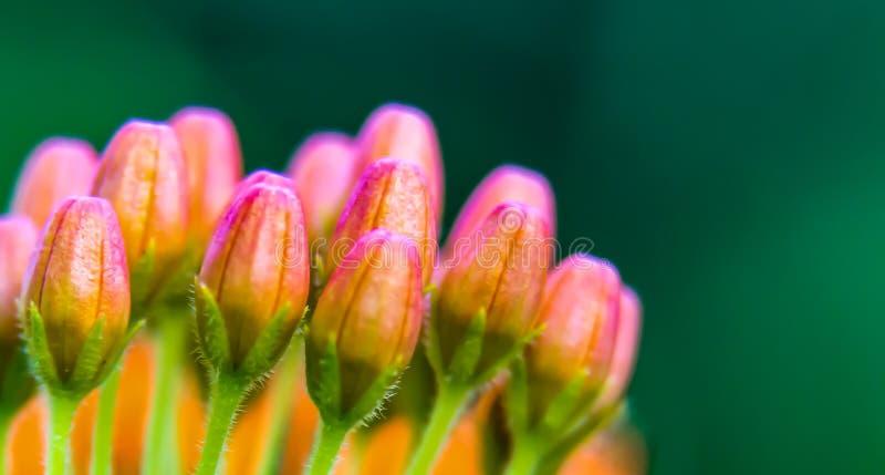 Rose et courson sauvage miniature orange des bourgeons de Milkweed photo stock