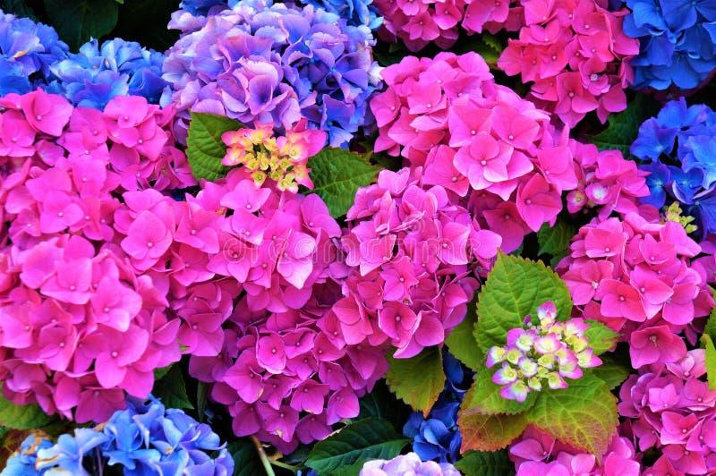 Rose et fleurs bleues d'hortensia, pourpres Foyer s?lectif images stock