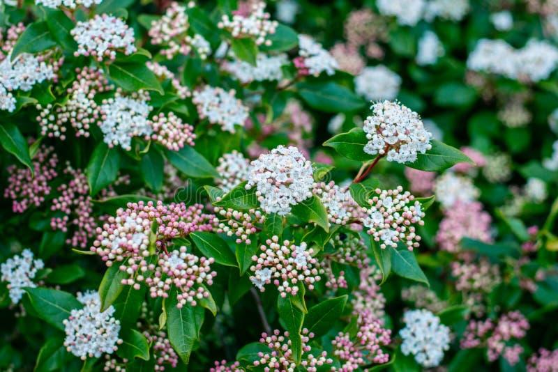 Rose et fleurs vertes dans un jardin photos libres de droits