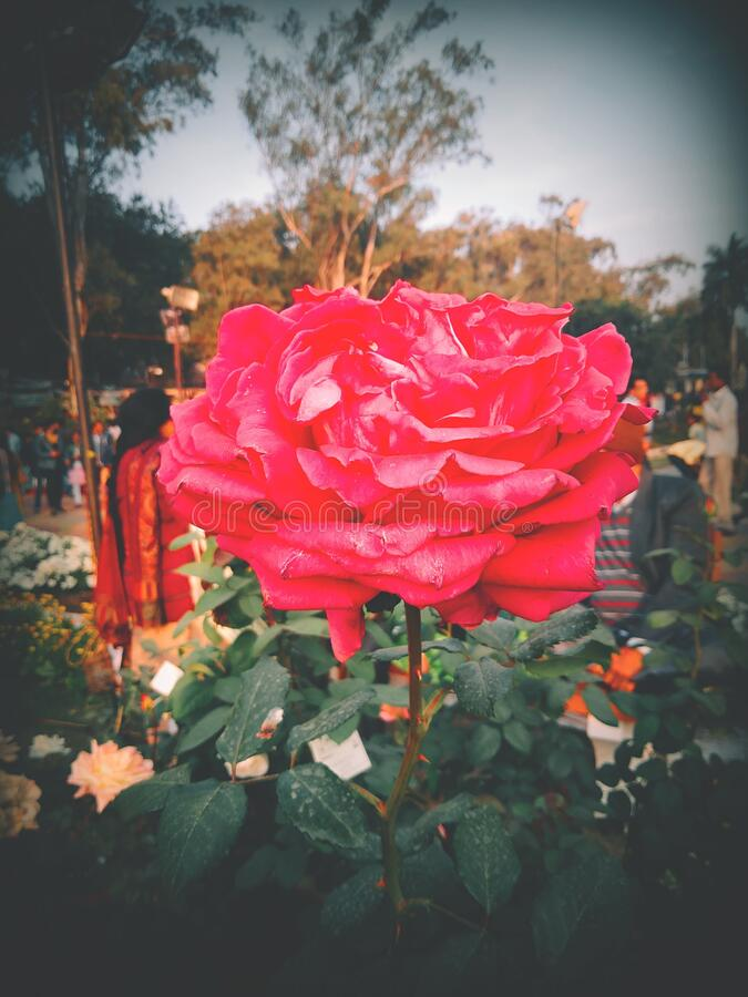 Rose Exhibition in bhopal in india royalty free stock image