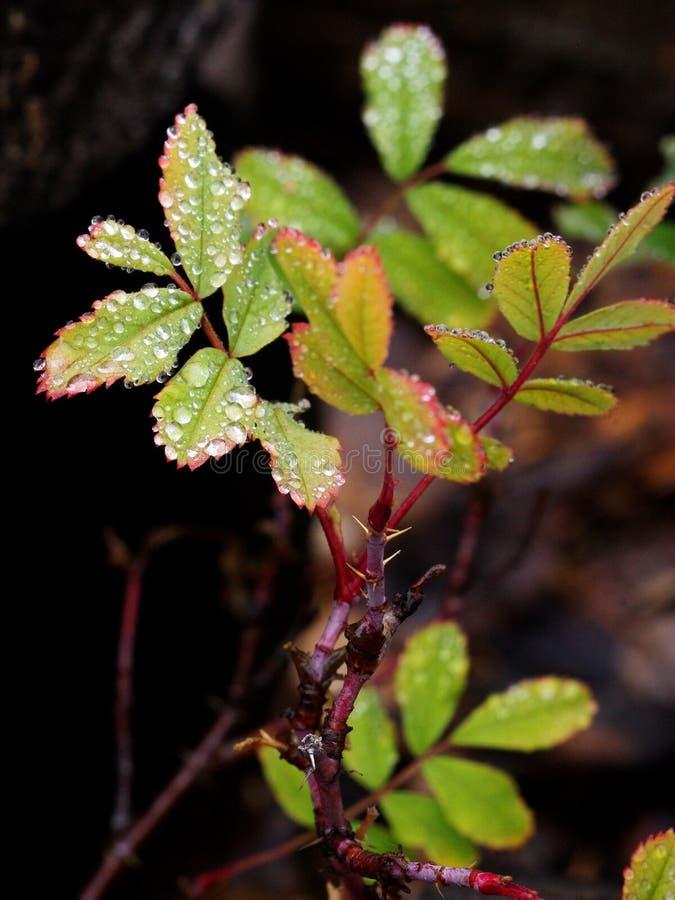 Rose Fall Rain selvaggia 4 fotografie stock libere da diritti