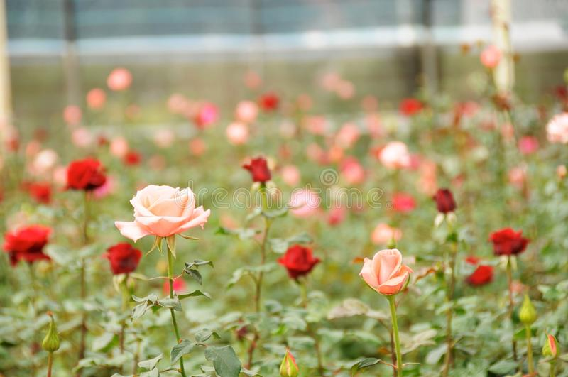 Rose farm. Pink and Red rose in rose farm, flower park, Dalat Vietnam stock photography