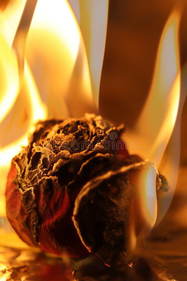 Rose And Flame royaltyfri foto