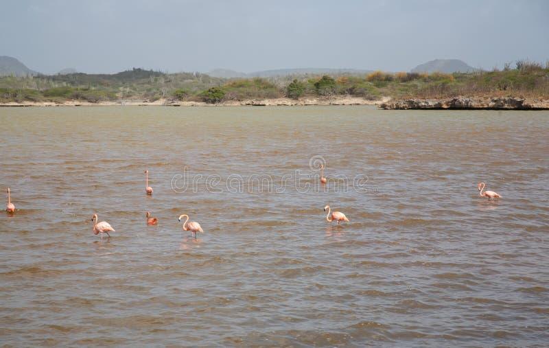 Rose Flamingo karibisk Bonaire för sjö ö royaltyfri fotografi