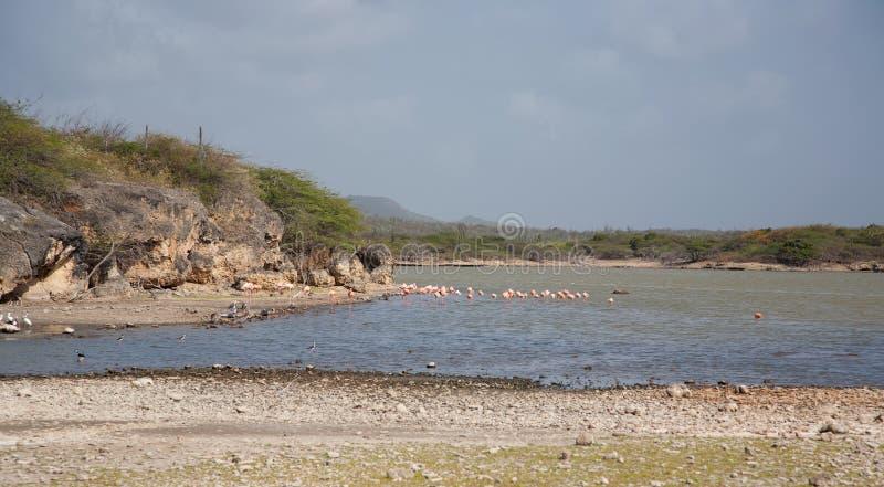Rose Flamingo karibisk Bonaire för sjö ö royaltyfria foton