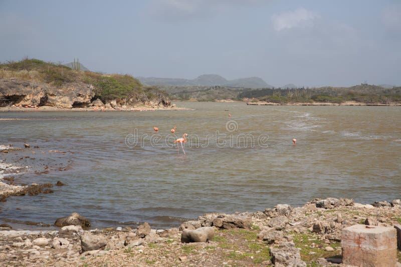 Rose Flamingo karibisk Bonaire för sjö ö arkivbild