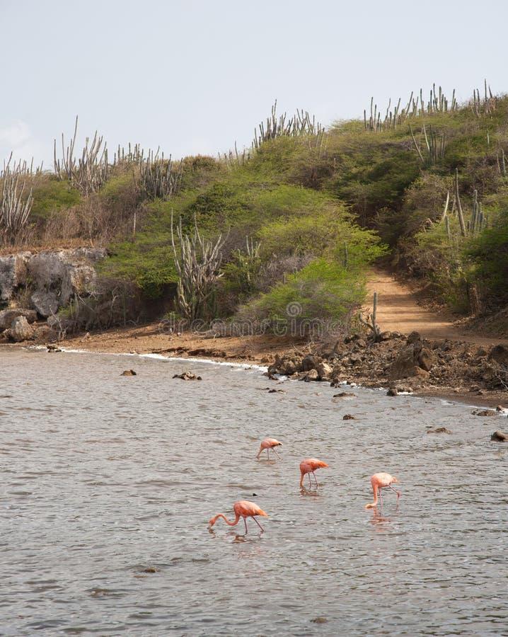 Rose Flamingo karibisk Bonaire för sjö ö royaltyfri bild