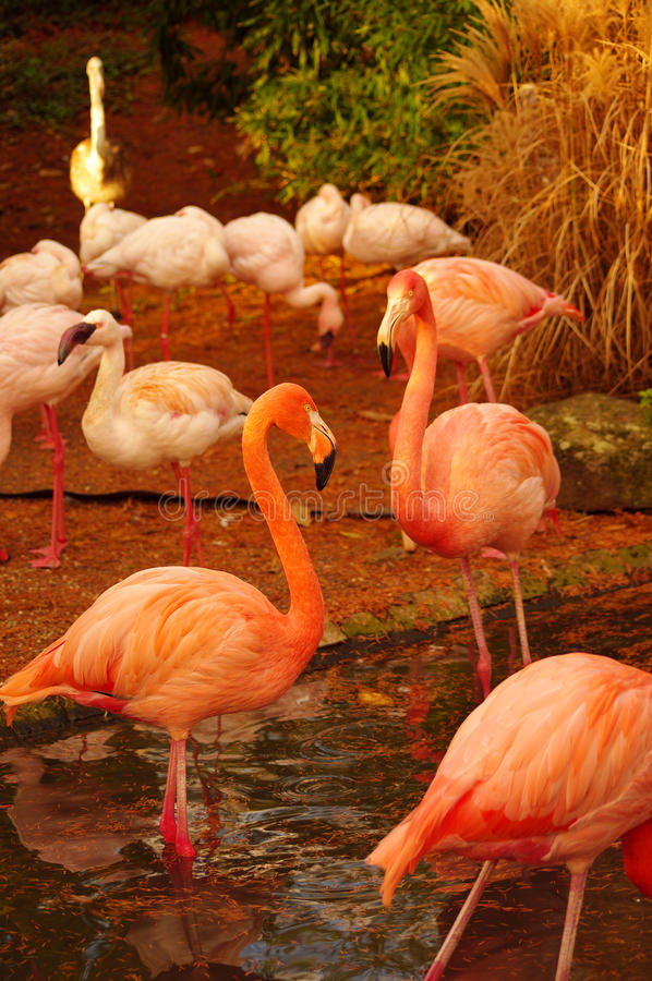 Rose Flamingos at the Luise Park in Mannheim