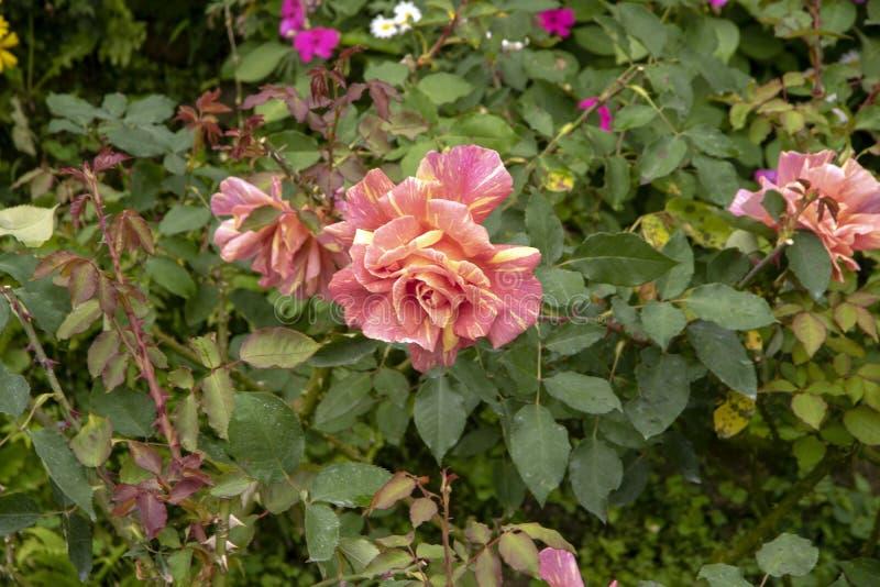 Rose fleurit - rose et diversité jaune photographie stock