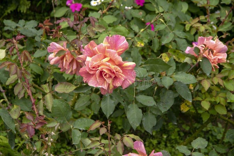 Rose fleurit - rose et diversité jaune image stock