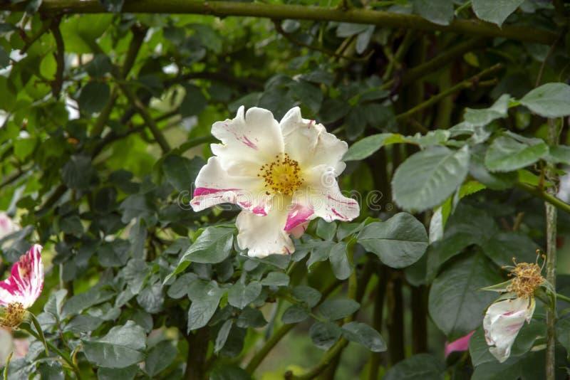 Rose fleurit - la diversité blanche et rose image stock
