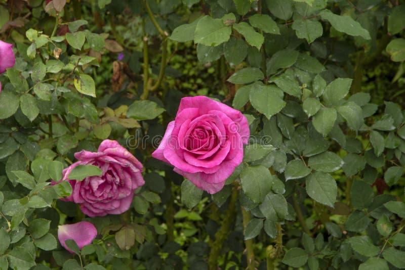 Rose fleurit - rose - une fraîche et une dissipée photo stock