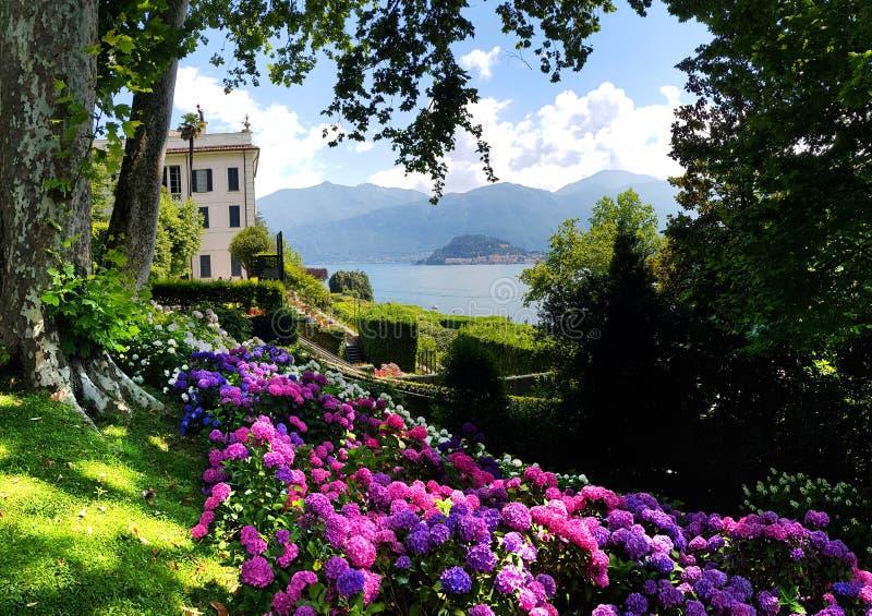 Rose, fleurs bleues, violettes, pourpres d'hortensia image stock
