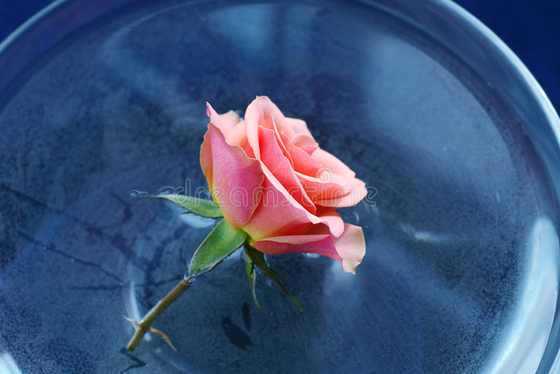 Rose float water royalty free stock images