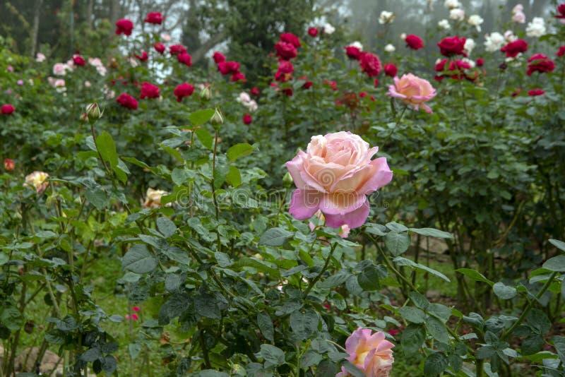 Rose florece - flor llena rosada con las gotitas de agua fotografía de archivo