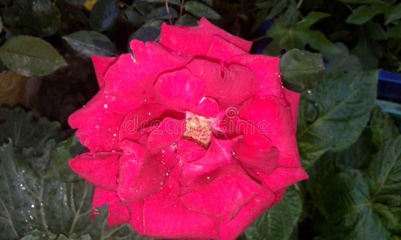 Rose floreciente imagen de archivo libre de regalías