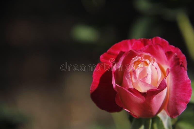 Rose floreciente fotos de archivo libres de regalías