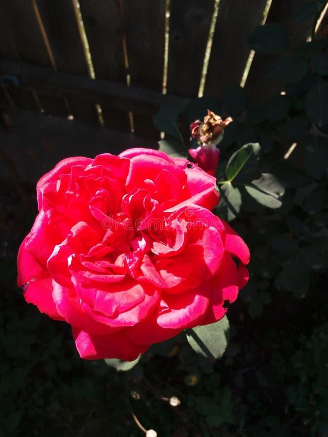 Rose Flower photo stock