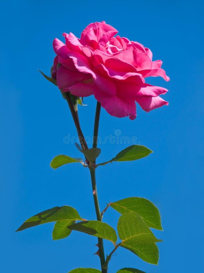 Free Rose Flower Royalty Free Stock Image - 10258526