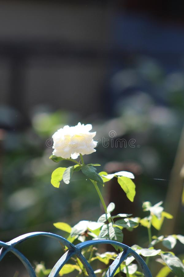 Rose Flower photos stock