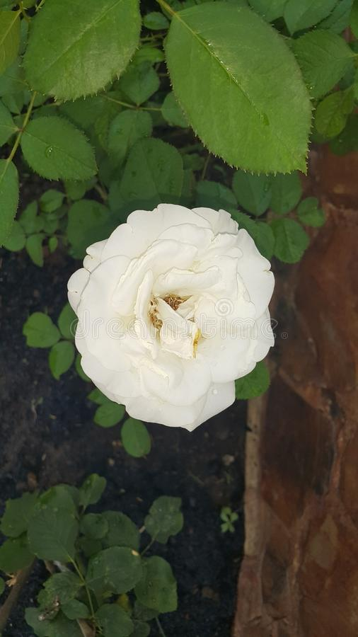 Rose Flower royalty-vrije stock foto's