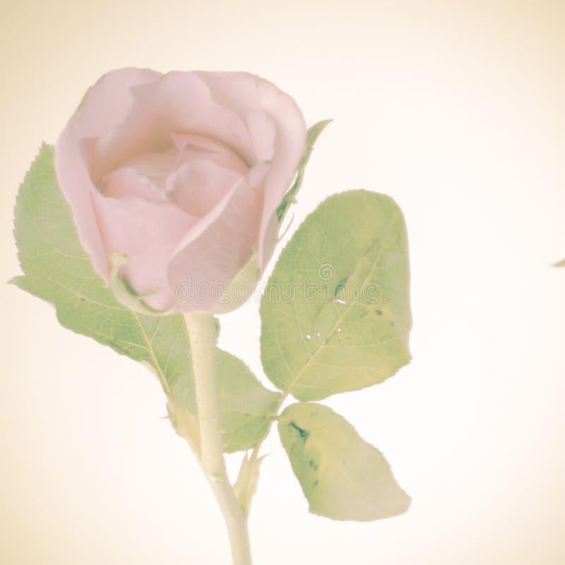 Download Rose Flower image stock. Image du fleurs, conception - 56475495