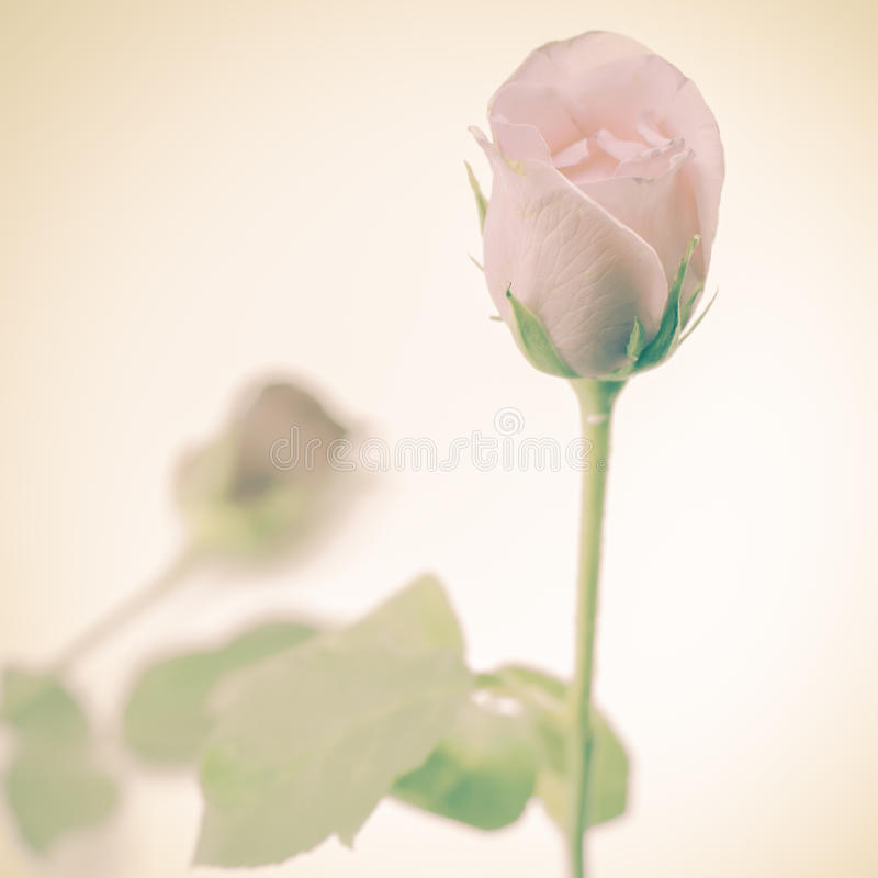 Download Rose Flower photo stock. Image du lumineux, floral, bourgeon - 56476186