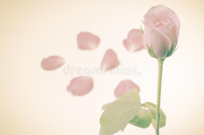 Download Rose Flower photo stock. Image du cadeau, lame, frais - 56476304